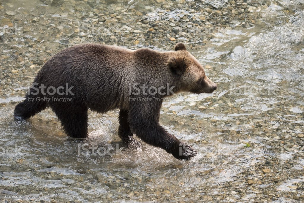 Wild North American Grizzly Bear stock photo