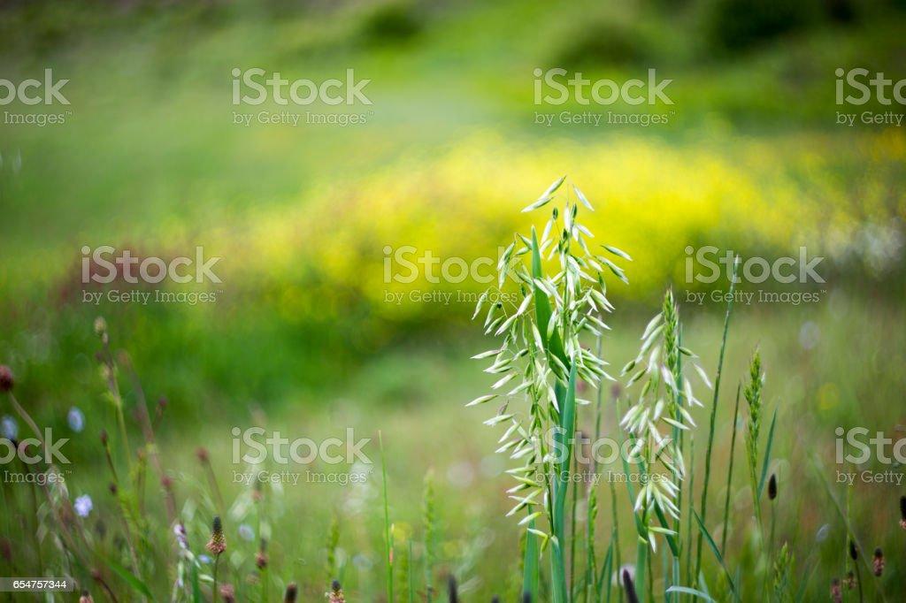 Wild oat , Avena fatua stock photo