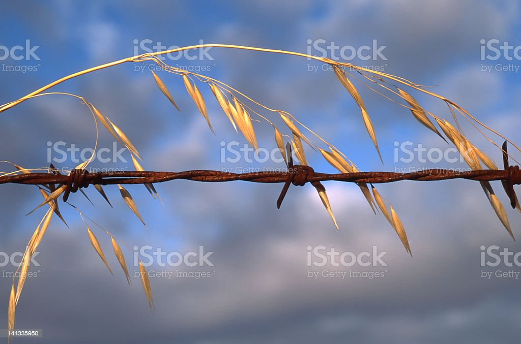 Wild oats and barb wire stock photo