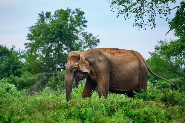 Wild old Sri Lankan elephant (Elephas maximus maximus) eats grass in nature park Udawalawe. Animal in the nature habitat. stock photo