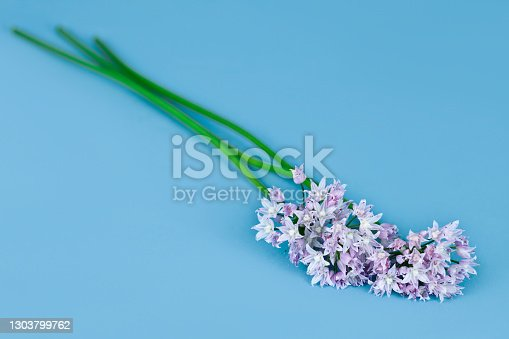 Wild onion flowers on a blue background.