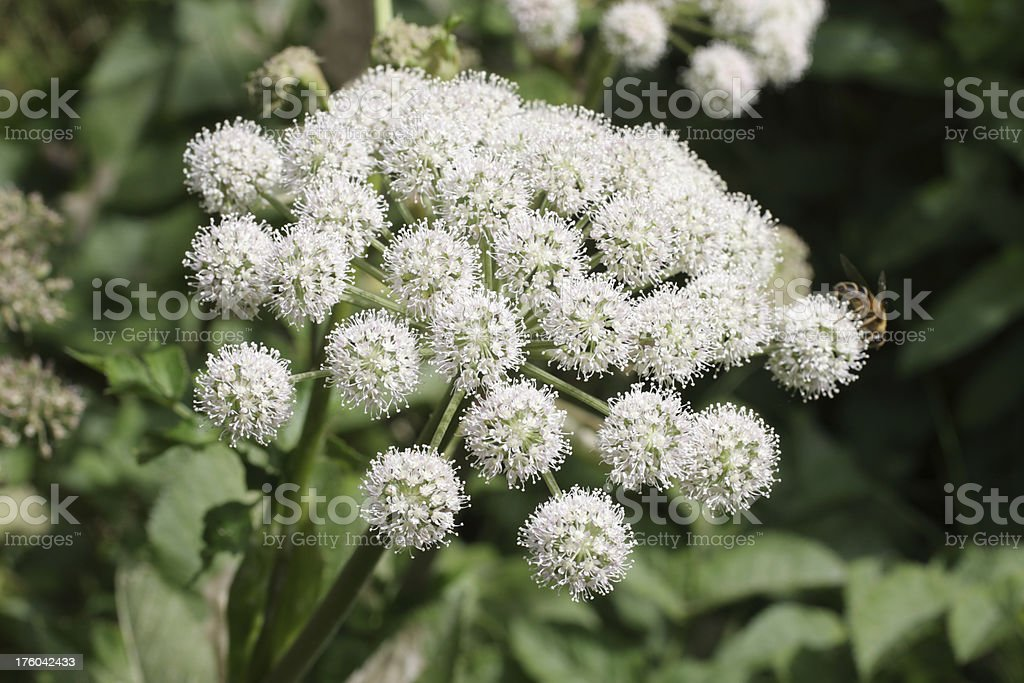 White flower of wild Angelica sylvestris stock photo