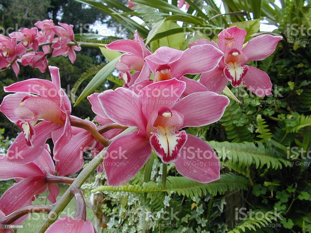 Wild Orchid 2 royalty-free stock photo