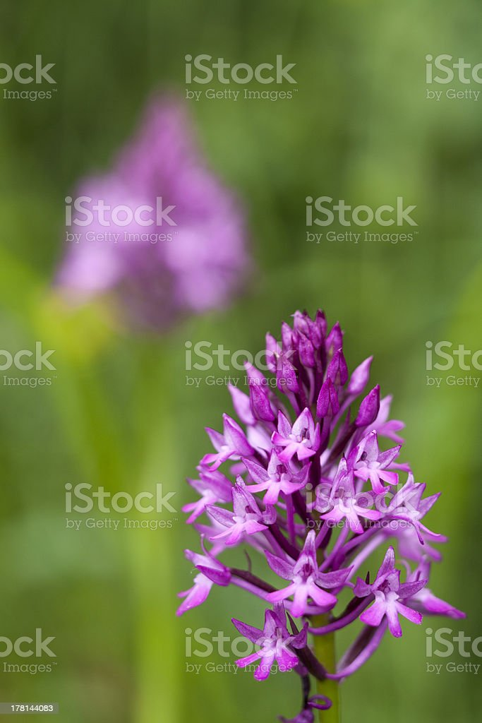 Wild Orchid: Anacamptis piramidalis royalty-free stock photo