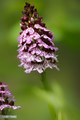 istock Wild Orchid flower in nature 1248175492