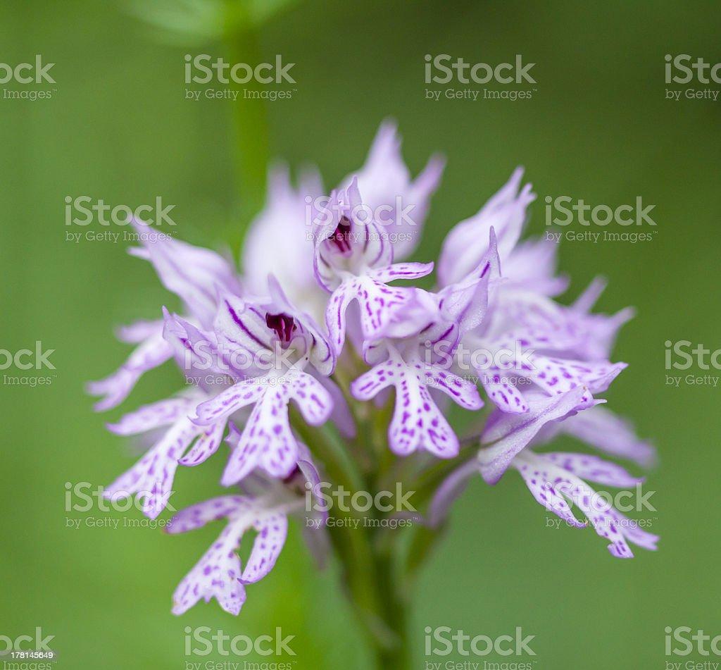 Wild Orchid: Neotinea tridentata royalty-free stock photo