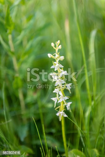 (Platanthera bifolia) commonly known as the Lesser Butterfly-orchid