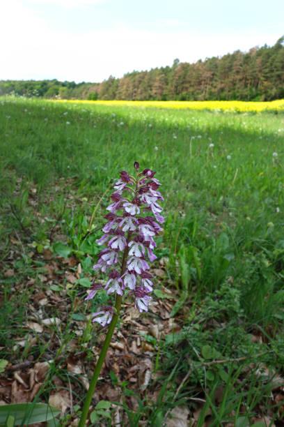 Wilde Orchidee – Foto