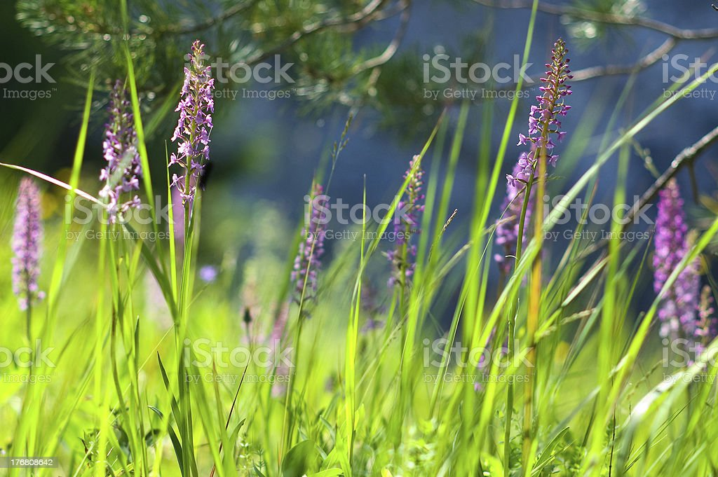 Wild orchids (Gymnadenia) royalty-free stock photo