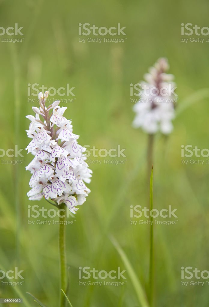 Wild orchids royalty-free stock photo