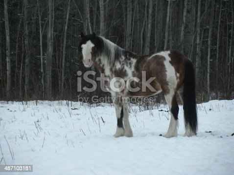 A wild overo colored stallion in Winter.
