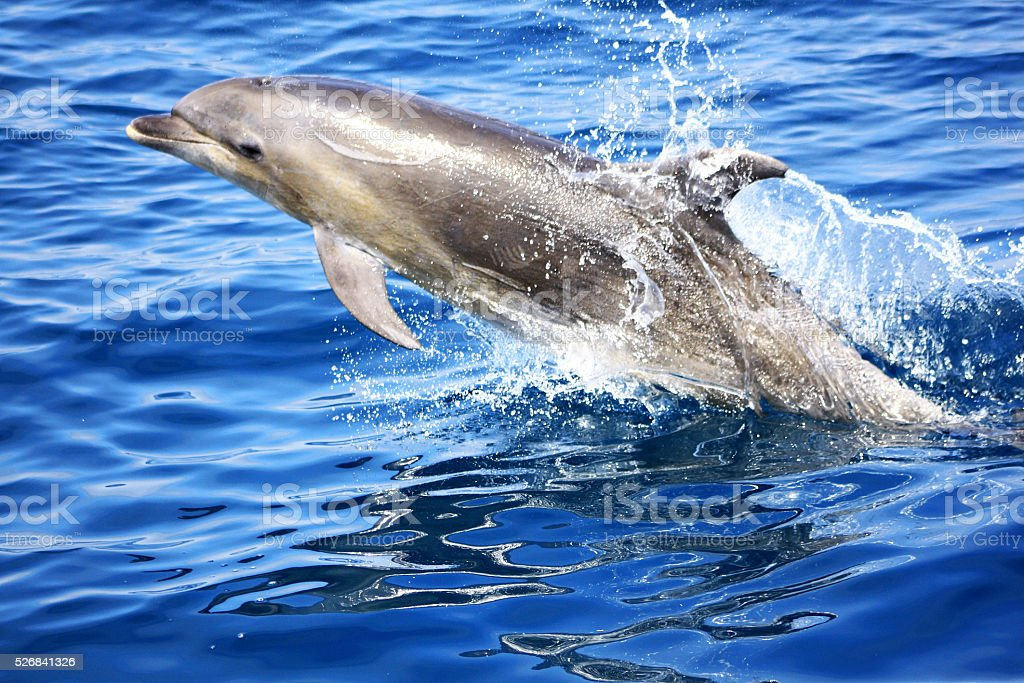 Wild Pacific Bottle Nose Dolphin stock photo