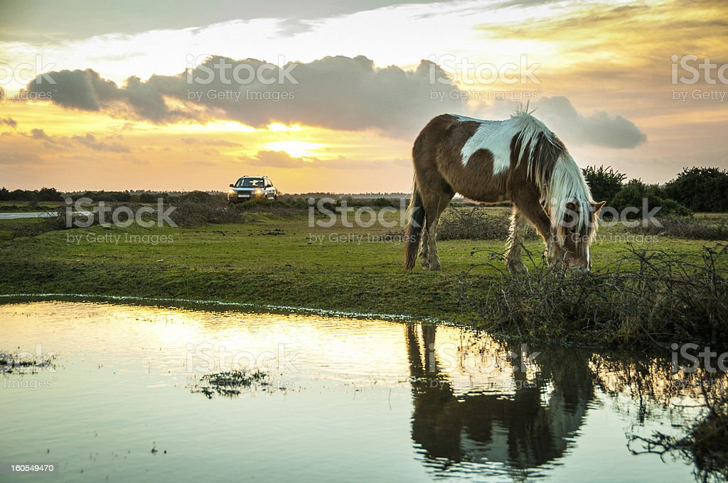 Wild paint horse at The New Forest, England stock photo