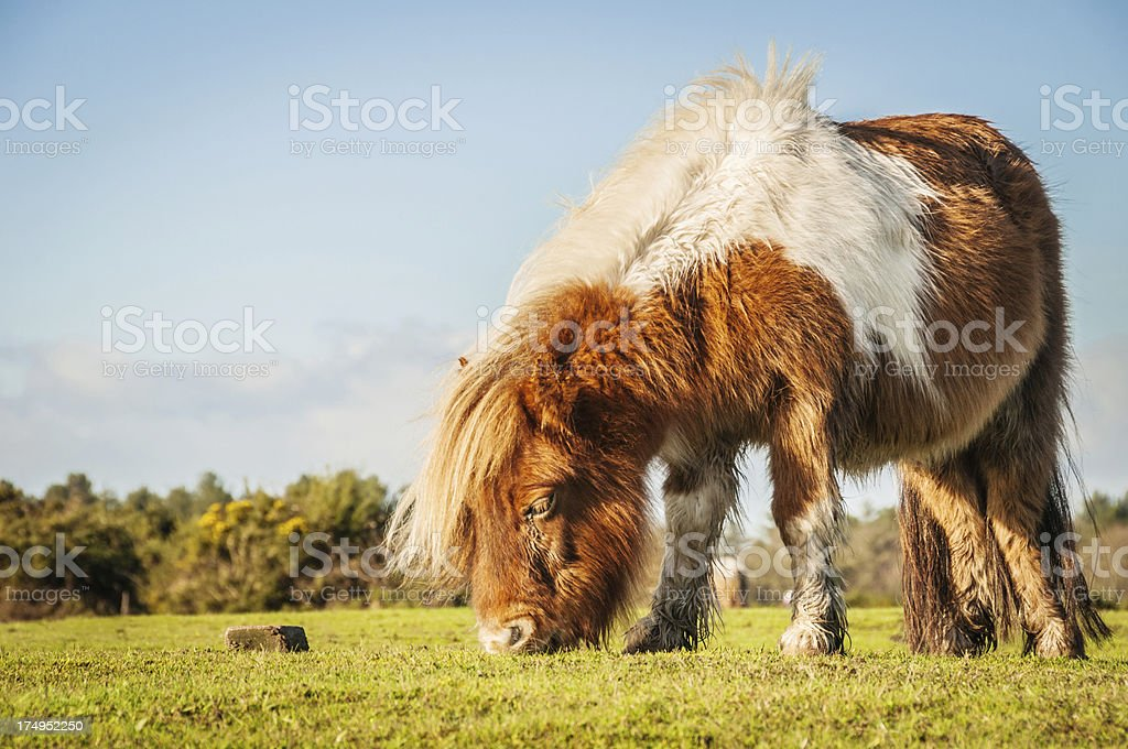 Wild paint pony grazing at The New Forest, Hampshire, England stock photo