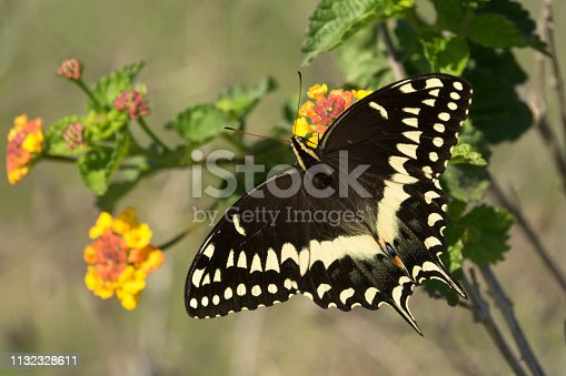 Feeding on nectar from colorful Texas lantana shrub flowers, a wild and large black palmedes swallowtail searches for food in the Aransas National Wildlife Refuge on the Gulf coast of Texas.