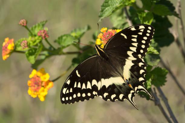 Wild palmedes black swallowtail butterfly texas lantana flowers picture id1132328611?b=1&k=6&m=1132328611&s=612x612&w=0&h=dortkx zczs3zq5ntxhv43v35nuanc9bopduq3txwbw=