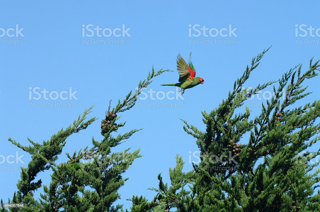 Wild parrot of Telegraph Hill stock photo