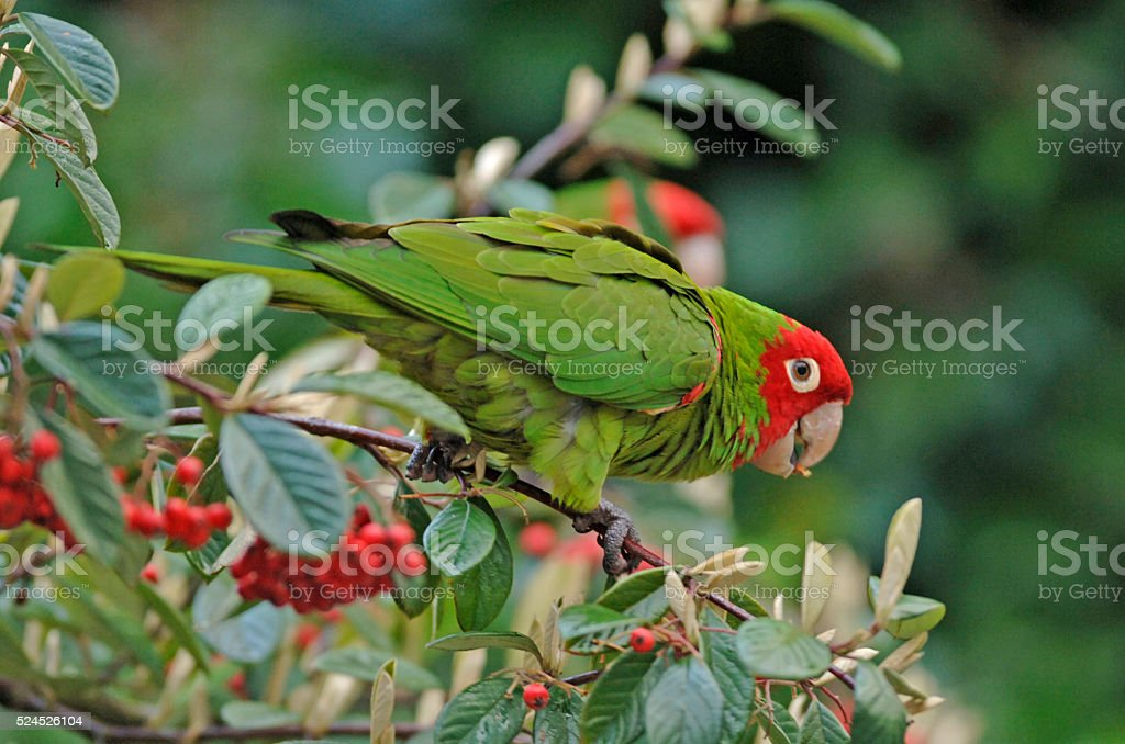 Wild Parrots of San Francisco's Telegraph Hill stock photo