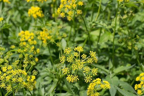 Wild Parsnip Plants Group of wild parsnip plants kathrynsk stock pictures, royalty-free photos & images