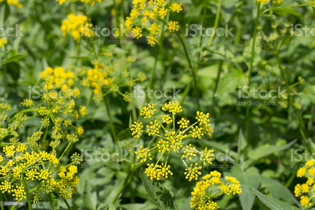 Wild Parsnip Plants stock photo