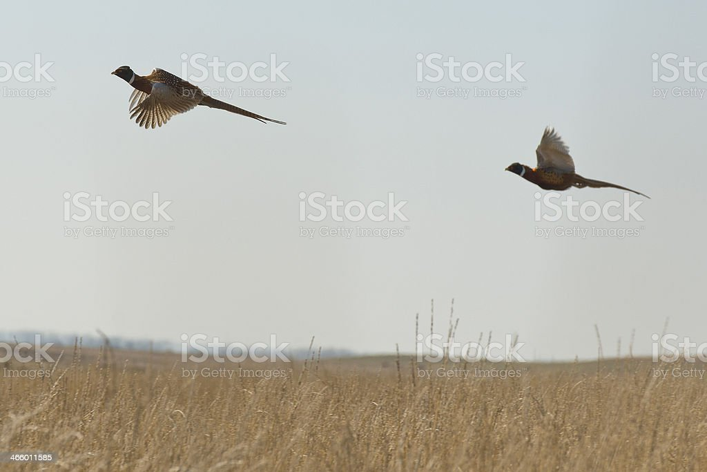 Wild Pheasants stock photo