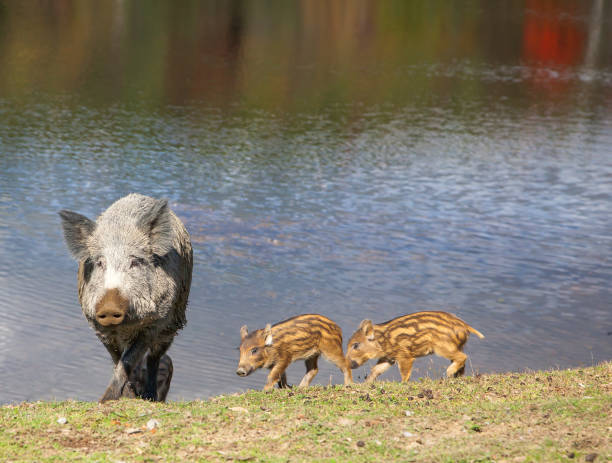 Wild Pig and Piglets stock photo