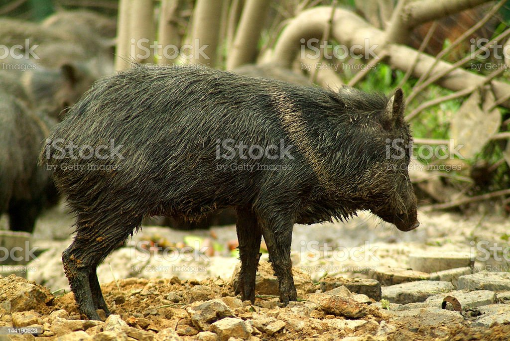 Wild Pig royalty-free stock photo