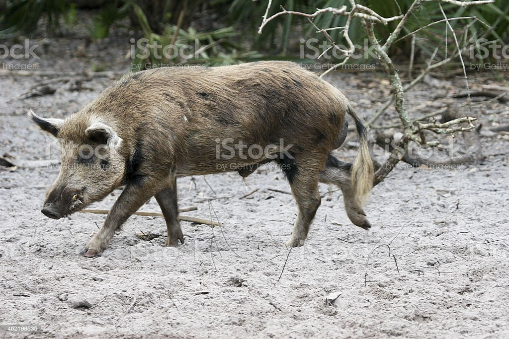 Wild pig walking over dirty sand with plants in background stock photo