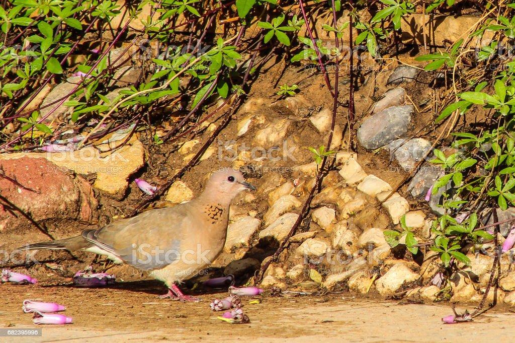 wild pigeon royalty-free stock photo
