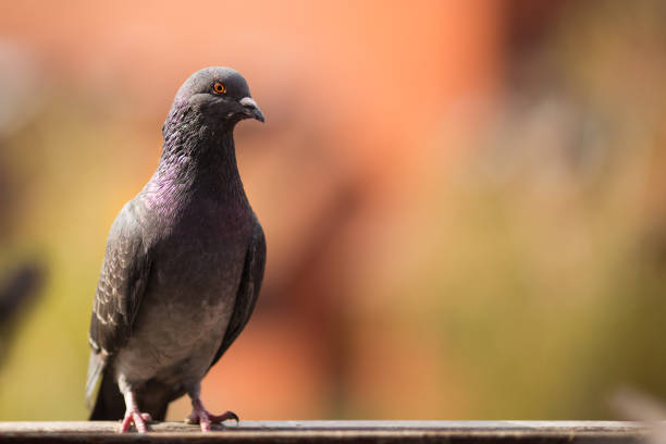 Wild pigeon standing proudly on a metal balk. stock photo