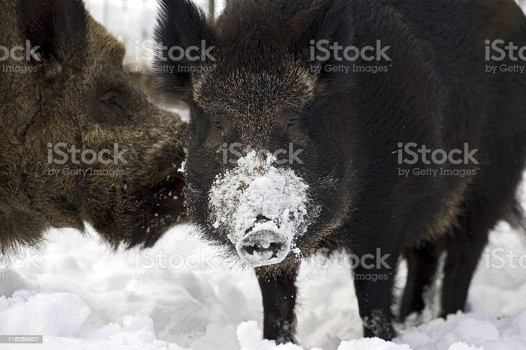 Wild pigs in winter royalty-free stock photo