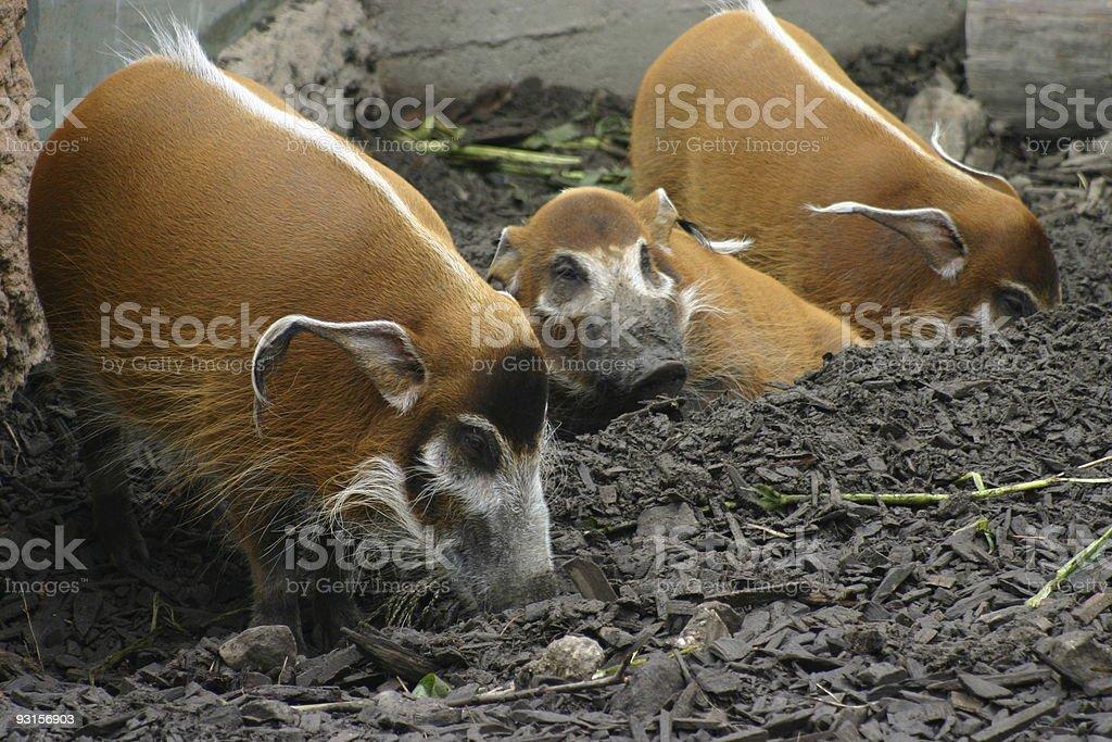 Wild pigs stock photo