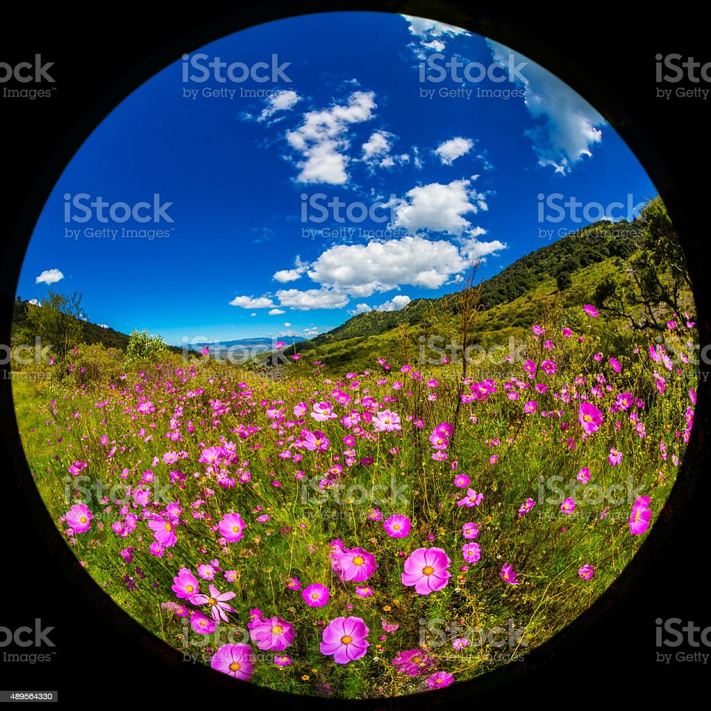 Wild Pink Daisies in Mexico. stock photo