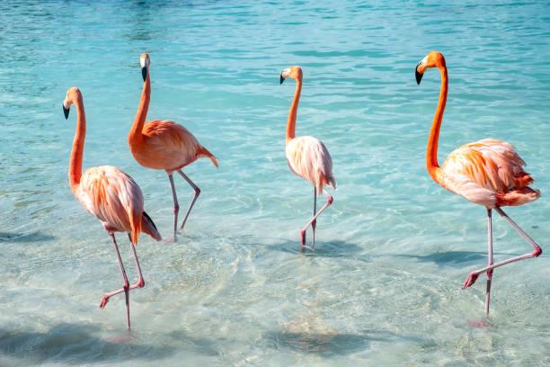 wild roze flamingo's op een caribische strand - aruba stockfoto's en -beelden