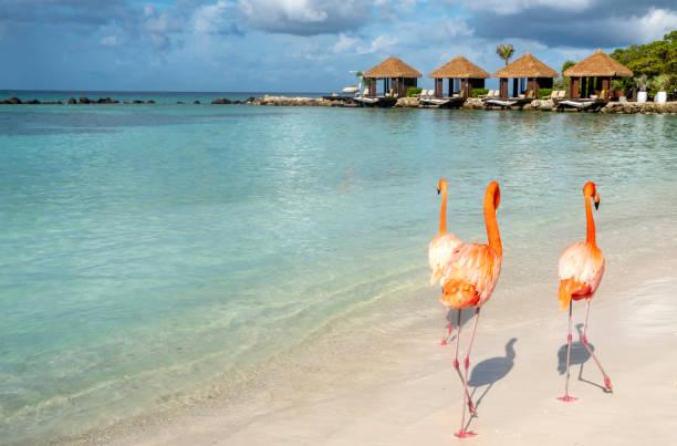 wild roze flamingo's op aruba's renaissance eilanden - aruba stockfoto's en -beelden