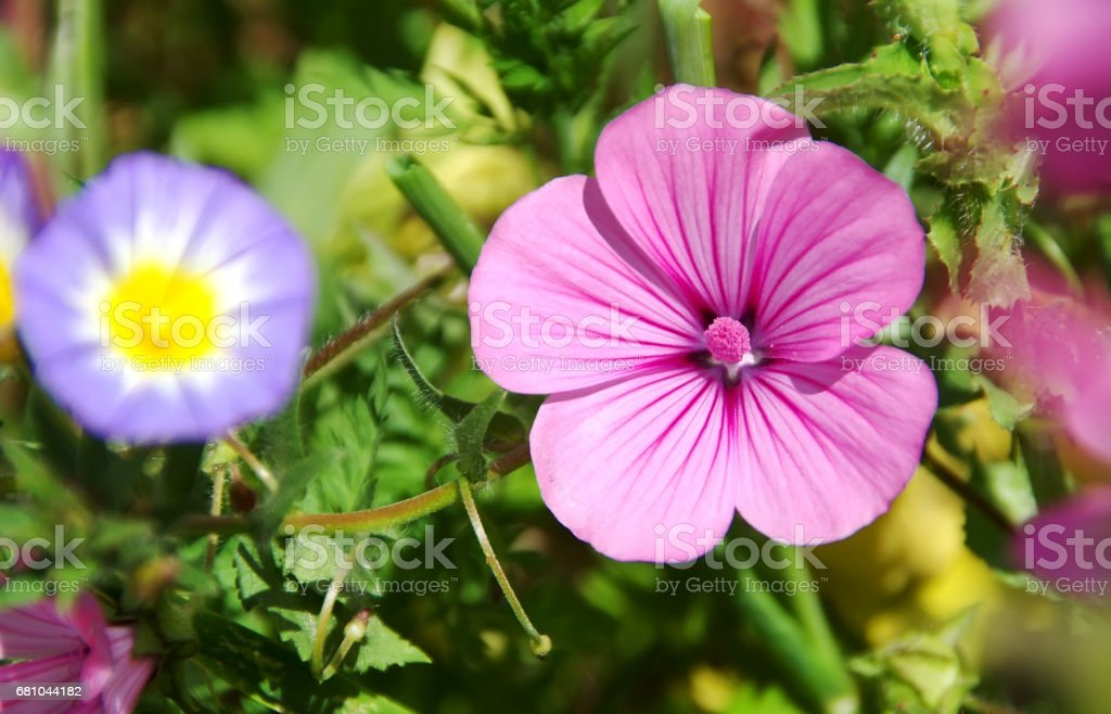 wild pink flowers like bell royalty-free stock photo