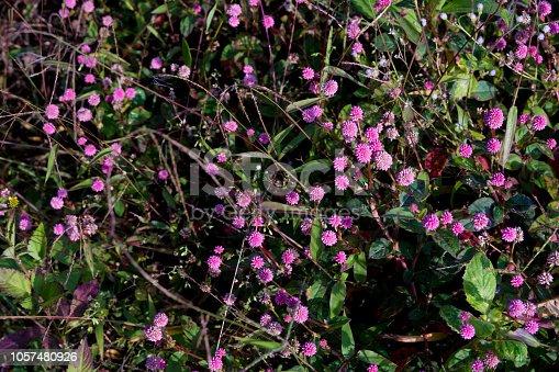 Wild pink grass flower