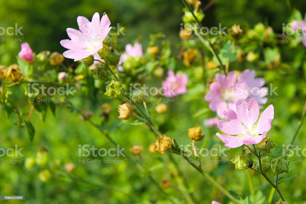 Wild pink mallow photo libre de droits