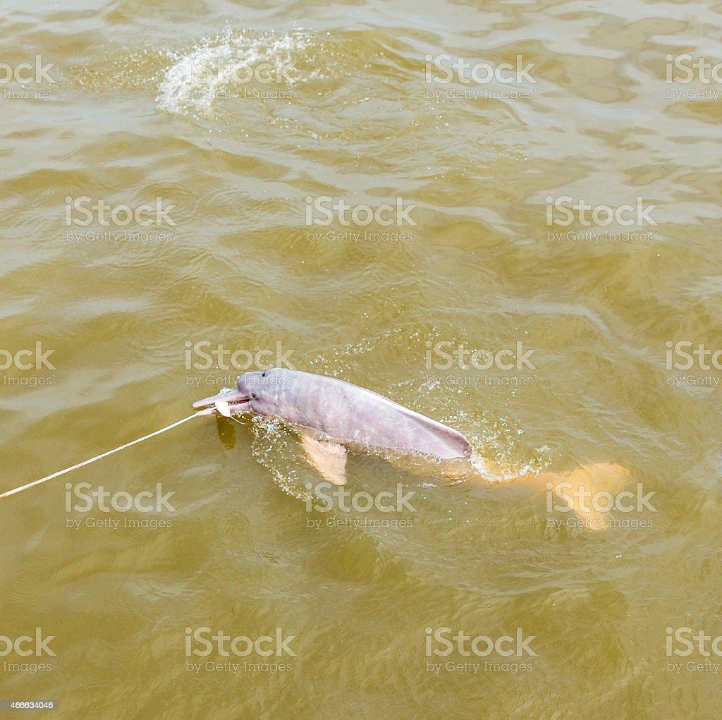 Wild Rosa Fluss-Delphin Schwimmen im Amazonas, Brasilien – Foto