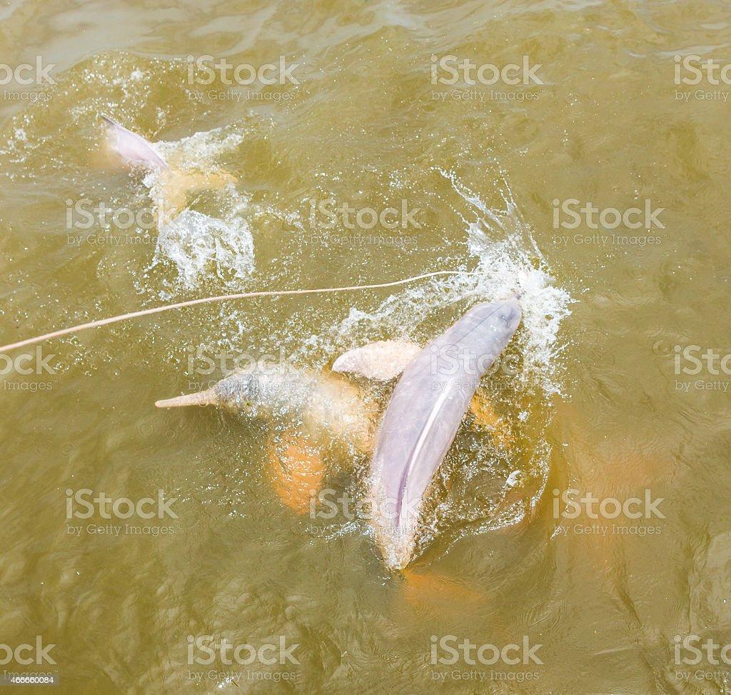 Wild Rosa Fluss Delfinen schwimmen im Amazonas, Brasilien – Foto
