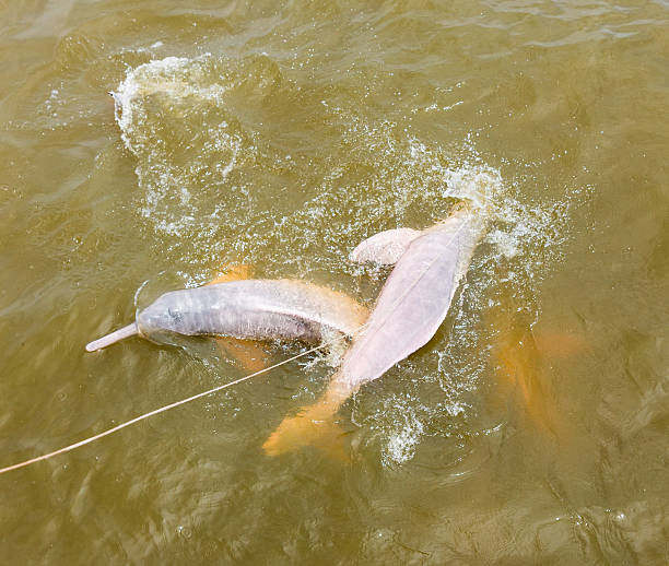 Wild Pink River Dolphins Swimming in Amazon, Brazil This photograph was taken in the vicinity of Santarem, Brazil with full frame camera and Zeiss prime telephoto 135mm lens. boto river dolphin stock pictures, royalty-free photos & images
