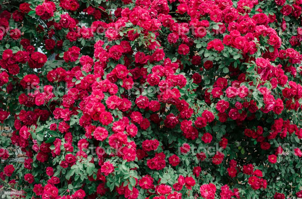 Wild pink roses background. Beautiful decoration on green wall fence. stock photo