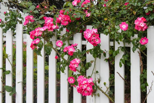 wildes rosa rosen wachsen auf einem weißen lattenzaun mit blumengarten durchscheinen - lattenzaun garten stock-fotos und bilder