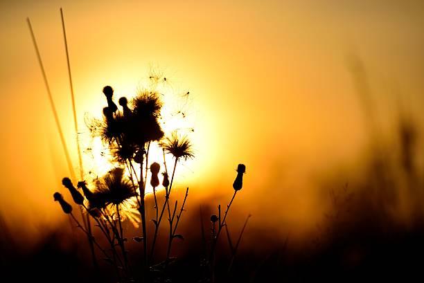 Cтоковое фото Wild plant on sunset background