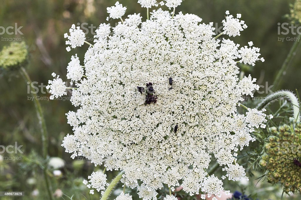 Wild plants apiaceae in forest  Israel . royalty-free stock photo