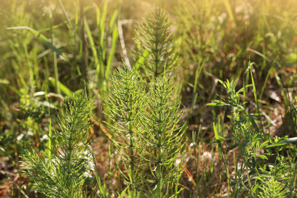 Wild plants - green background of horsetail or Tolkachik or Equisetum arvense . Common Horsetail in spring stock photo