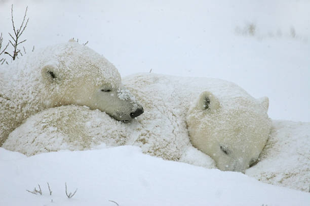 Wild polar bear cubs sleep in storm Hudson Bay Manitoba stock photo