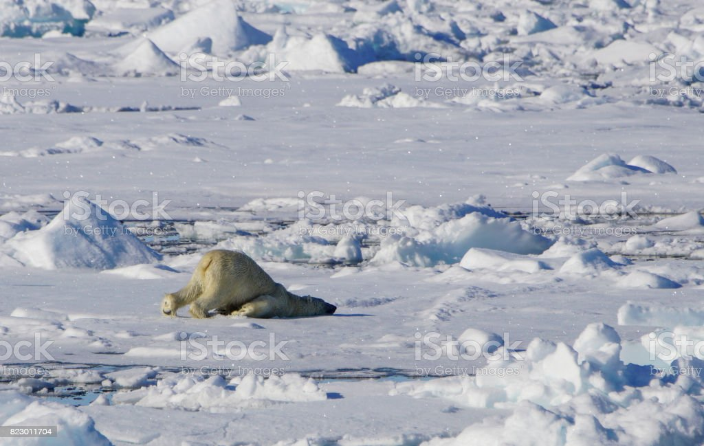 Wild polar bear in the Arctic Ocean north of Svalbard, Norway the...