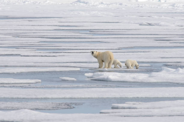 Wild polar bear (Ursus maritimus) mother and cub on the pack ice stock photo