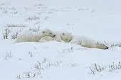Family of white polar bear with little cubs.